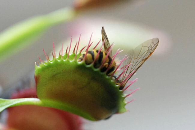 растение хватает насекомое