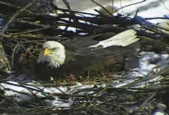 гнездо белоголового орлана