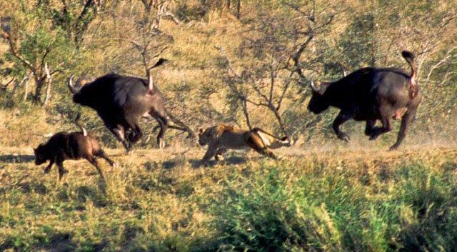львы и буйволы схватка